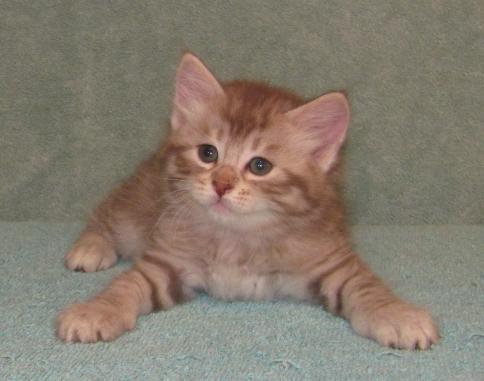 American bobtail cat breeders in florida